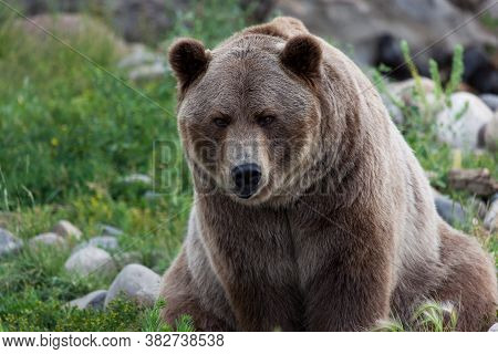 A Large Male Grizzly Bear Sitting On Its Backside As It Looks Forward With A Curious Expression.