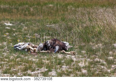 The Bones, Skin, Teeth, Fur, And Horns Of A Bison Carcass Left To Decompose In A Field Near A Geothe