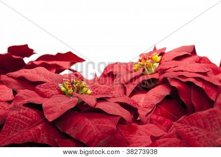 close up of red poinsettia flowers on white