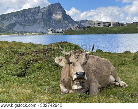 Cows On The On Meadows And Pastures On The Slopes Of The Alpine Valley Melchtal And In Uri Alps Mass