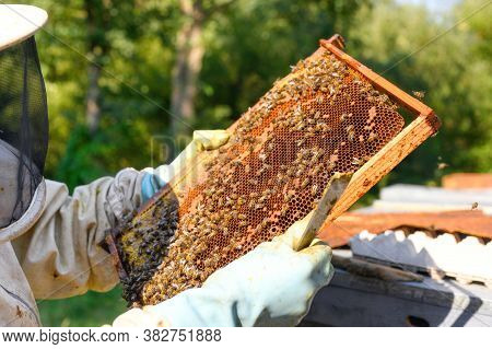 Beekeeper On Apiary. Beekeeper Is Working With Bees And Beehives On The Apiary. Close-up View Of. Hi