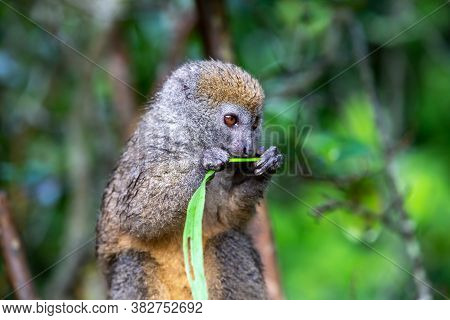 A Bamboo Lemur With A Blade Of Grass On A Branch