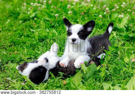 Corgi Puppies Play On The Grass . Puppies On The Grass. The Game Animals. Pets. Dog Walking.