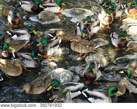 Lots Of Mallards In A Small Lake