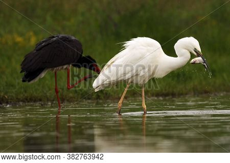 The Great Egret (ardea Alba), Also Known As The Common Egret, Large Egret Or Great White Heron With