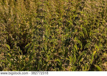 Mint. Mentha. Bushes Mint. Green Leaves. Fresh Mint. Useful Tea. Garden. A Flower Bed. Close Up Gree