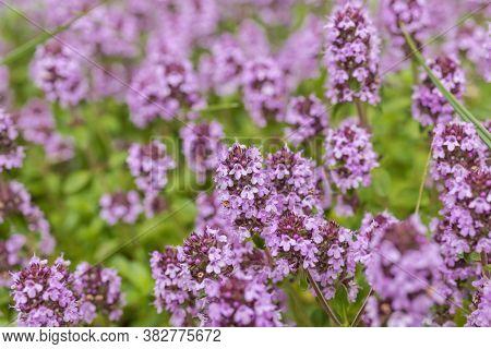 Thyme. Medicinal Plant.