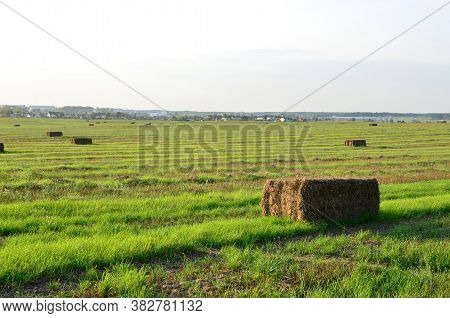 Pressed Straw Briquettes Of Harvest On A Field. Harvesting Dry Grass For Agriculture Or Farmer. Ecol