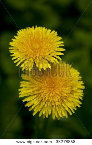 dandelions against green background