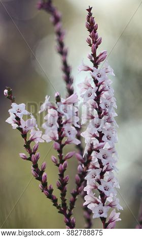 Pink And White Flowers And Buds Of The Australian Native Coast Coral Heath, Epacris Microphylla, Gro