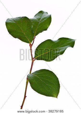 leaves on stem against white