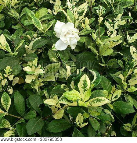 Cape Jasmine Flower. Scientific Name: Jasminum Sambac