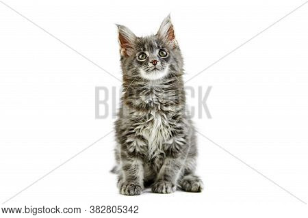Maine Coon Kitten, Isolated. Cute Maine-coon Cat On White Background. Little Funny Purebred Cat, Gra