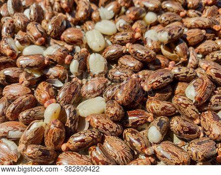 Castor Oil Seeds (ricinus Communis), Heap Of Castor Seeds