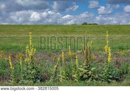 Denseflower Mullein (verbascum Densiflorum)plant Near Rhine River In Rhineland,germany
