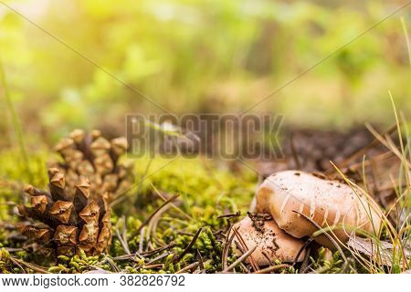 A Group Of Boletus, Suillus Luteus, Among The Moss And Pinecones In The Forest, Mushroom Picking Sea