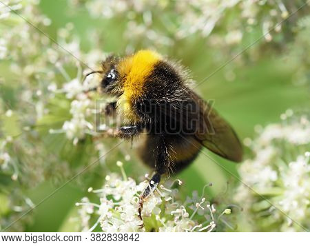 Close-up Of A Bumblebee. Bumblebee Gathers Nectar From The White Flowers Of The Angelica, Selineae.