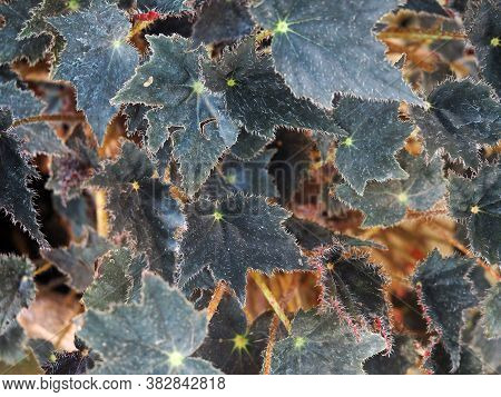 Rhizomatous Begonia Plants And Leafs. Begonia Par Jagged Black Or Black Prince