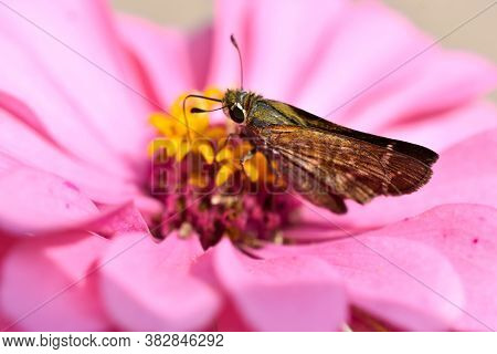 Skipper Butterfly On Pink Zinnia Flower Macro
