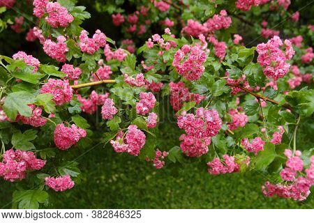 Flowers Of The Double Pink Hawthorn Or Crataegus Oxyacantha Rosea Plena. Garden After Rain