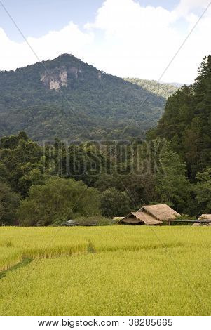 Golden Rice Field In Mae Klang Luang Village In Thailand