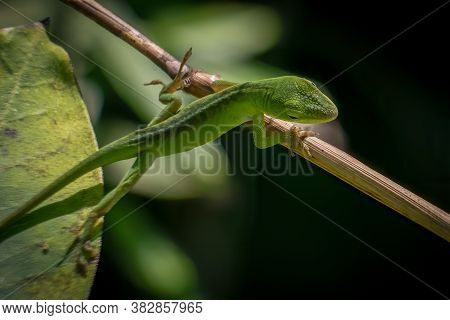 A Juvenile Carolina Anole Or Green Anole Climbs From A Leaf To A Twid. Raleigh, North Carolina.