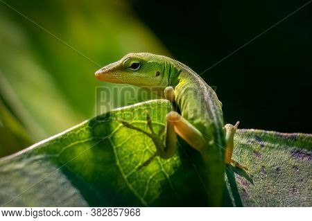 A Juvenile Carolina Anole Or Green Anole Looks Back To Pose. Raleigh, North Carolina.