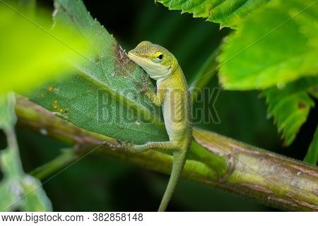 A Juvenile Carolina Anole Or Green Anole Clings To A Leaf. Raleigh, North Carolina.