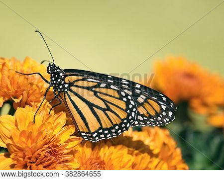Monarch Butterfly (danaus Plexippus) On Chrysanthemum Flowers During Autumn Migration. Natural Green