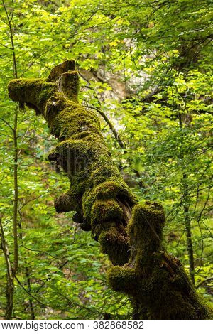 An Old Dead Tree Full Of Moos In A Forest In Tyrol, Austria.