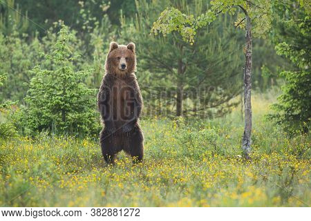 Impressive Brown Bear Standing Upright On Glade In Forest In Summer.