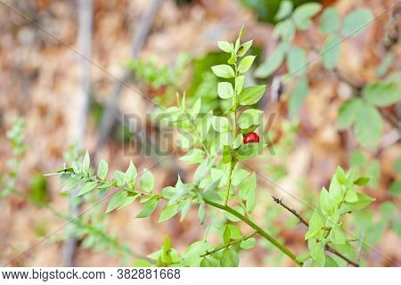 An Intense Red Berry Stands Out Against The Green Background Of The Forest.