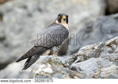 Adult Peregrine Falcon Sitting On Mountains In Fall.