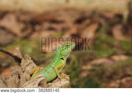 Green Chameleon On A Rock, Scaled Chameleon They Are Reptiles In Suborder Lacertilia Or Sauria.