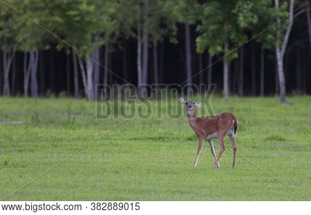 Whitetail Deer Doe With A Crooked Ear In North Carolina