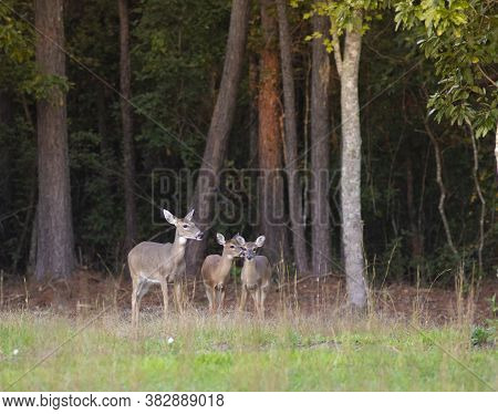 Whitetail Doe And Yearlings At A Forest Edge In North Carolina