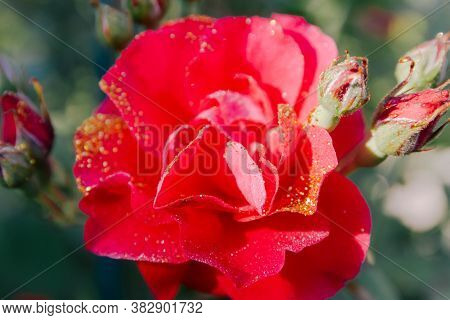 Red Rose Flower With Buds On A Bush Close-up. The Dark Foliage. Gold Sequins And Water Drops.  Backg