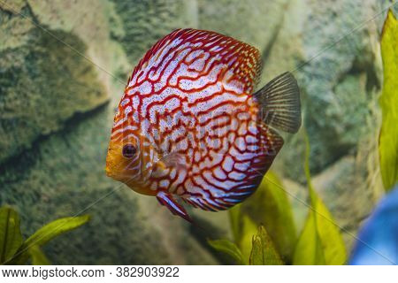 Close Up View Of Gorgeous Checkerboard Red Map Discus Aquarium Fish. Hobby Concept.