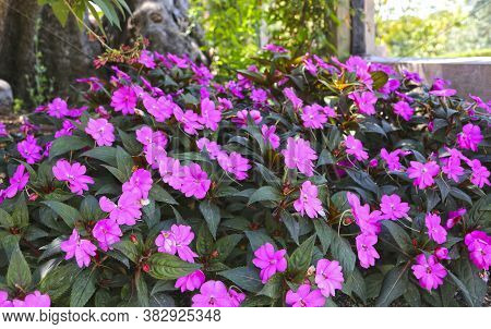 Tropical Plant With Pink Purple Flowers Impatiens Neuguinea, Also Known As Jewelweed, Touch-me-not,