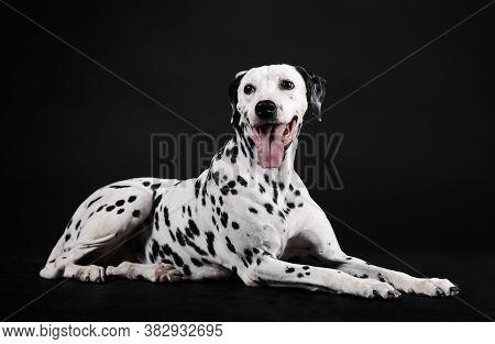 Dalmatian Dog Sitting Facing Forward Isolated With Black Background