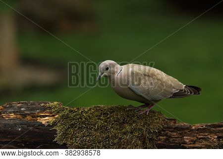 The Eurasian Collared Dove (streptopelia Decaocto) Sitting On The Brown Branche With Green Backgroun