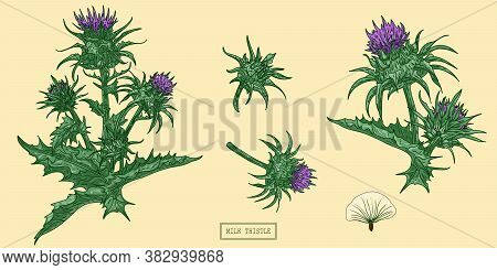 Medical Milk Thistle Plant, Hand Drawn Botanical Illustration In A Trendy Flat Style