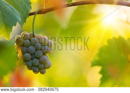 White grapes ready to be harvested at a vineyard, close-up.