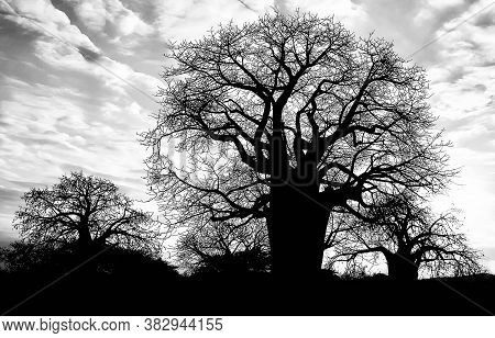 Black & White Silhouette Of 3 Baobab Trees In Africa With Bare Limbs Against A Dramatic Cloudy Sky.