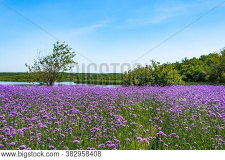 Verbena Flowers Blooming In Jingyuetan Wetland Park, Changchun, China