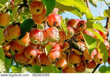 Red Paradise Apples Hanging On A Tree In Garden. Decorative Paradise Apple Tree Branch With Fruits.