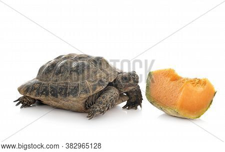 Greek Tortoise In Front Of White Background