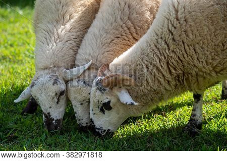 Ram With Horns In Foreground And Wo Ewes Beside Him Grazing In A Grassy Field. Natural Light With Co