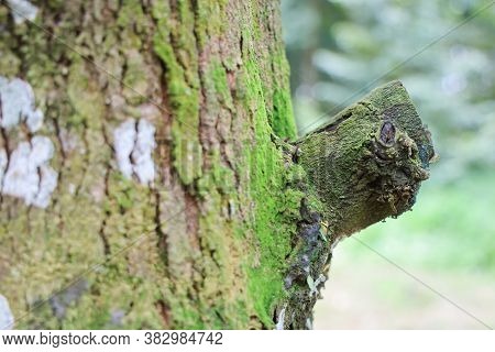 Textured Background Of Tree's Bark With Moss Covered. Copy Space For Nature And Environment. Green C
