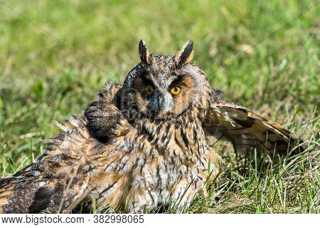 Eagle Owl ( Asio Otus) With Broken Wings In Green Grass On A Bright Sunny Day.